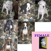 7 ckc reg. boxer puppies